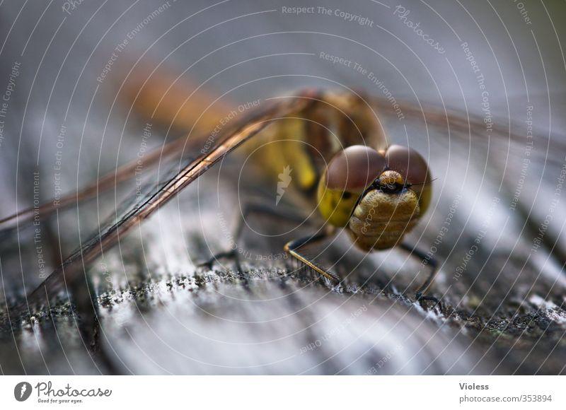 ...Dragonfly elegant sitzen ästhetisch hocken Libelle Facettenauge Heidelibelle
