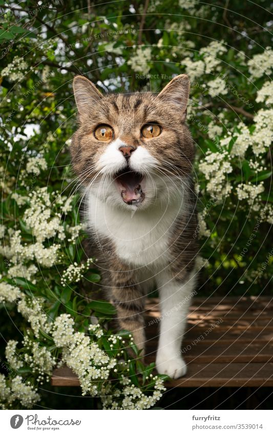 hungrige Katze mit offenem Maul, die auf einem Holztisch im Garten steht und auf Leckereien wartet Haustiere Ein Tier im Freien grün Natur Botanik Pflanzen