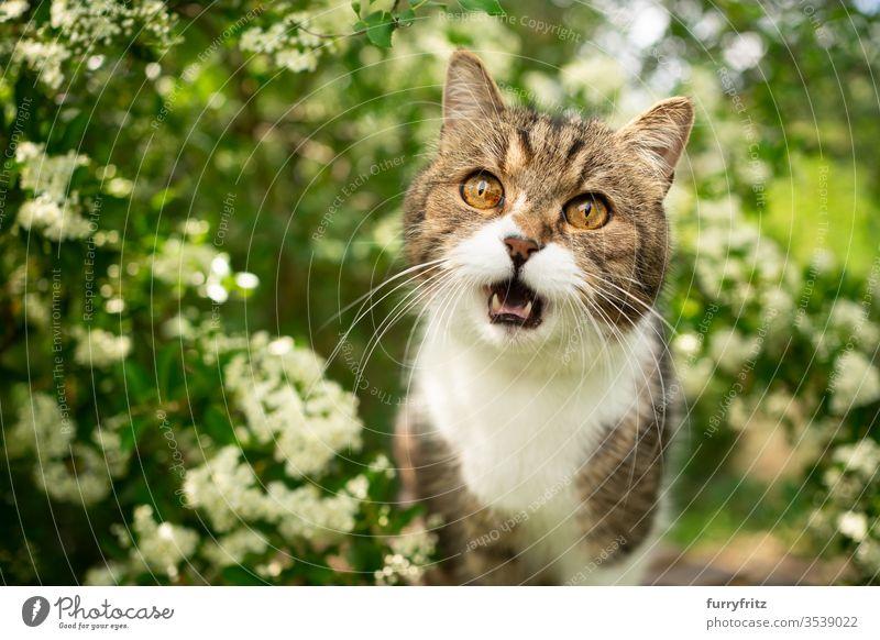 weiß getigerte Britisch Kurzhaarkatze miaut in der Natur Katze Haustiere Ein Tier im Freien grün Botanik Pflanzen Blütezeit Blütenpflanze Buchse Rassekatze