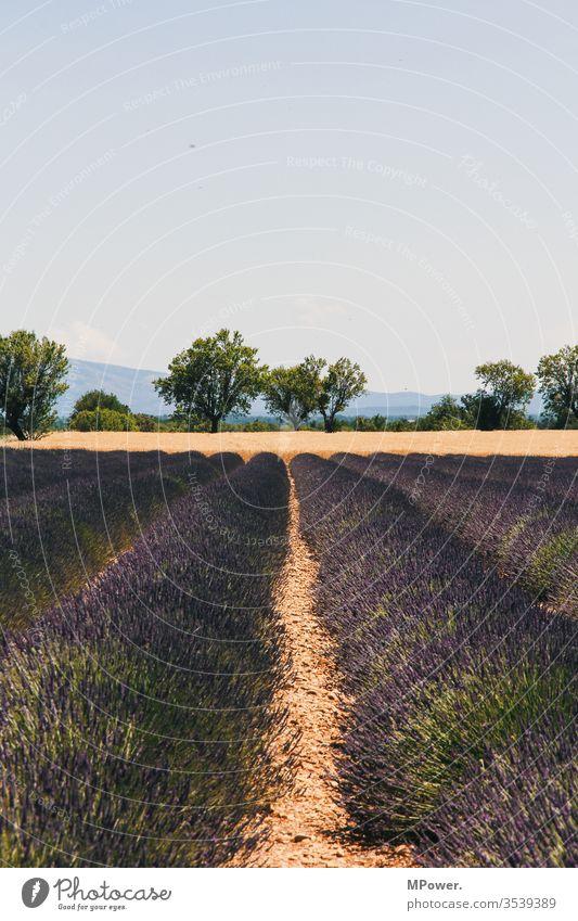 lavendelfeld frankreich blume provance violett Provence Menschenleer Außenaufnahme Frankreich Lavendel Landschaft Lavendelernte Lavendelfeld Zentralperspektive