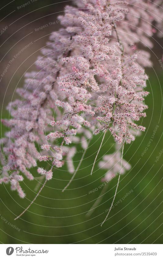 Rosa Flauschige Blüten im Wind strauch Äste und Zweige Blütenknospen Blütenpflanze flauschig rosa fein Fäden ziehen grün