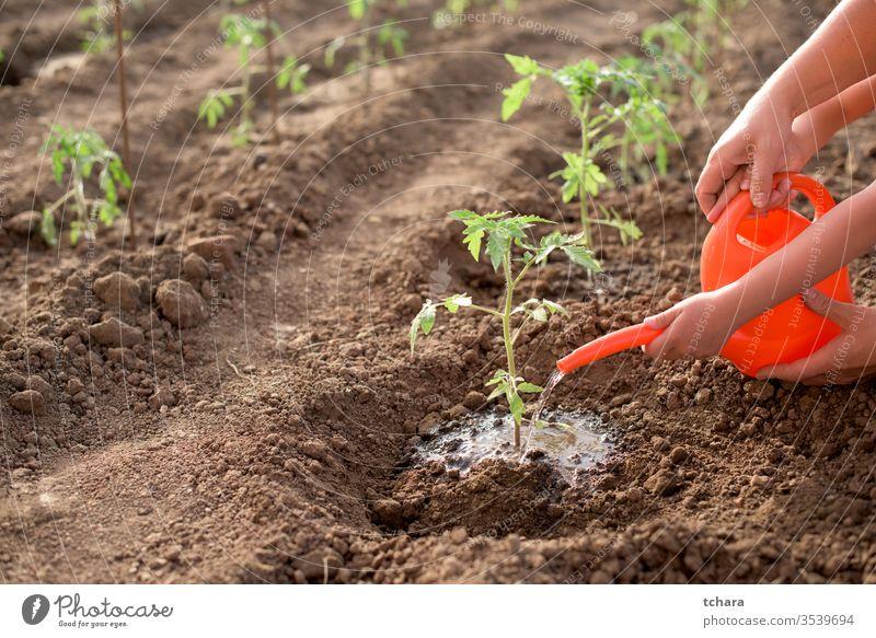 Mutter und Kind gießen neue Tomatenpflanze selektiv Details Buchse Gewächshaus Nahaufnahme Aussaat saisonbedingt Monokultur Schmutz Frische natürlich