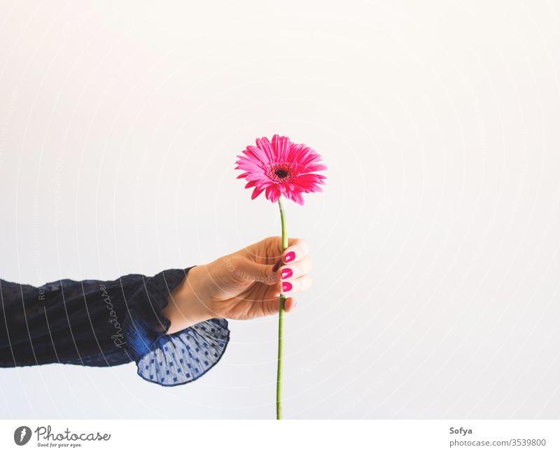 Wunderschöne rosa Gerbera-Blüte in weiblicher Hand Blume eine einzigartig Muttertag Frau Beteiligung Frühling Haufen romantisch Blumenstrauß Frauentag Geschenk