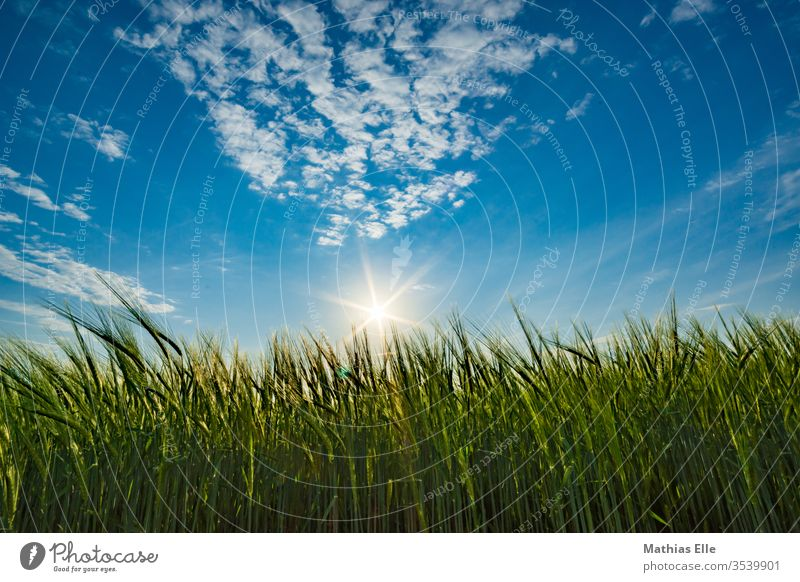 Sonnenuntergang am Weizenfeld Froschperspektive Hafer Genmanipulation Forstwirtschaft weich Lebensmittel Menschenleer Agrarprodukt Roggenmehl
