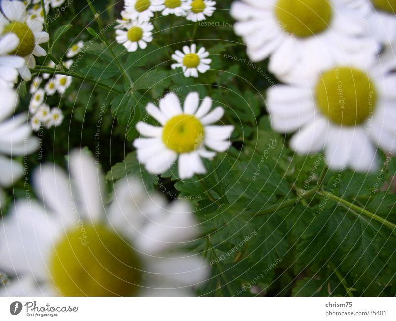 Gänseblümchen Natur Pflanze Tiefenschärfe Hippie