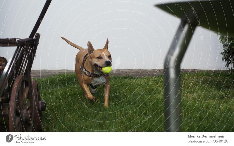Bring den Ball hund Haustier Hund Tier Tierporträt Tiergesicht niedlich Tierliebe Außenaufnahme Farbfoto Tag hundeleben lustig Tierfotografie Spielen Freude