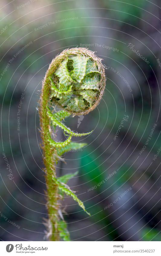 Gekringelter, junger Farn mit viel Entfaltungspotential Pflanze Grünpflanze Natur grün Wildpflanze Wachstum natürlich gekringelt Potential entfalten