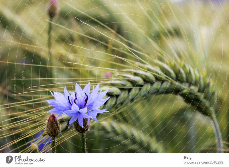 Kornblume und Knospe vor einer unreifen grünen Gerstenähre im Kornfeld Blume Blüte Ähre Umwelt Natur Landwirtschaft Feld Pflanze Außenaufnahme Getreide Farbfoto