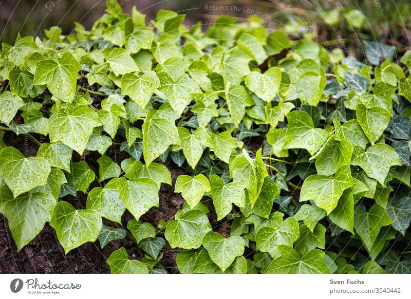 Efeu wächst an einer Wand herunter efeu blätter efeupflanze efeumauer flora natur grün garten blatt hintergrund frisch natürlich nahaufnahme laub sommer