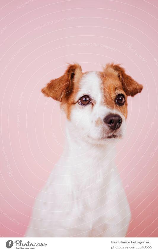 Porträt des niedlichen Jack Russell auf rosa Hintergrund. Buntes, Frühlings- oder Sommerkonzept jack russell Hund Haustier schön klein weiß Welpe Reinrassig