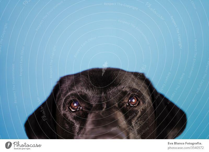 Porträt eines schönen schwarzen Labradorhundes auf blauem Hintergrund. Buntes, Frühlings- oder Sommerkonzept Hund Haustier niedlich Welpe Reinrassig Raum 1