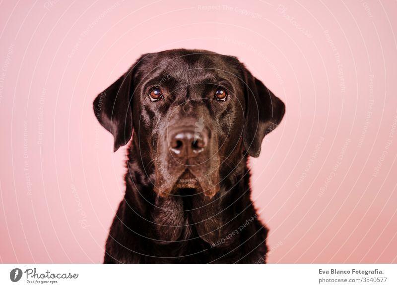 Porträt eines schönen schwarzen Labradors auf rosa Hintergrund. Buntes, Frühlings- oder Sommerkonzept Hund Haustier niedlich Welpe Reinrassig Raum 1 Terrier