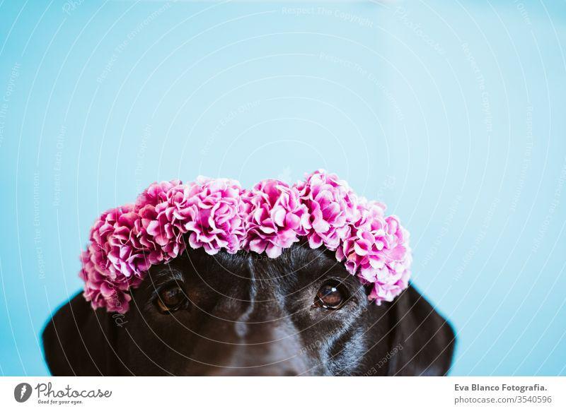 Porträt eines schönen schwarzen Labradorhundes mit einer Blumenkrone auf blauem Hintergrund. Frühlings- oder Sommerkonzept schwarzer Labrador Hund Haustier