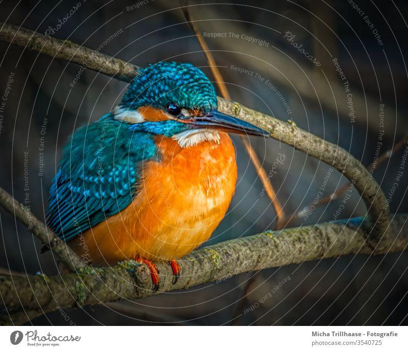 Eisvogel am Seeufer Alcedo atthis Kopf Auge Schnabel Federn Gefieder Flügel Porträt Tierporträt Wildtier Vogel Natur Zweige u. Äste strahlen leuchtend Tag