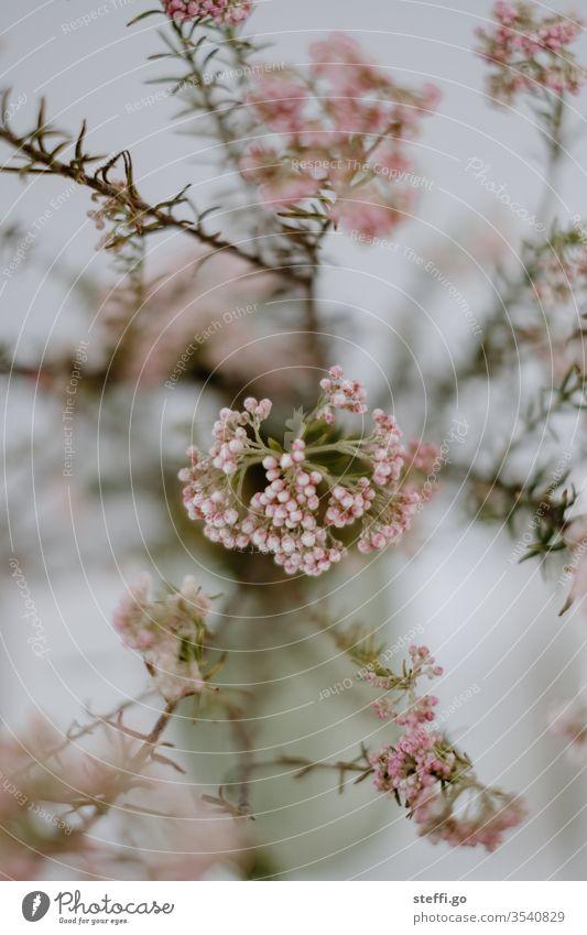 rosa Kraut in einer Blumenvase mit starker Tiefenschärfe Blumenstrauß kraut pink Dekoration & Verzierung Frühling Blühend Farbfoto Innenaufnahme Blüte Pflanze