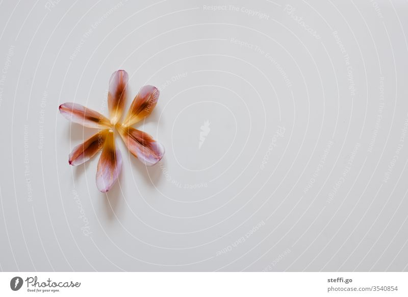 einzelne bunte Tulpenblätter angeordnet als Blütte auf weißem Hintergrund im linken Bildbereich Tulpenblüte orange gelb rot Blüte Blütenblatt Blume Pflanze