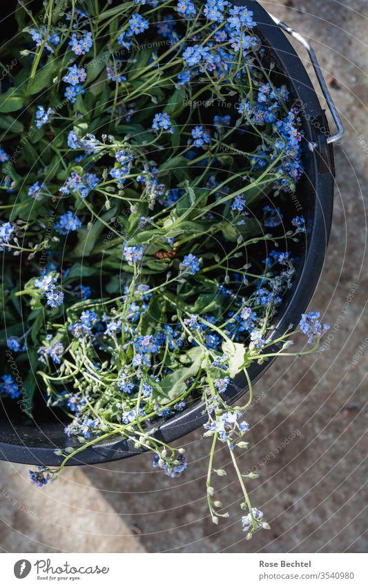Vergissmeinnicht in schwarzen Eimer Nahaufnahme Frühling Pflanze Blume Makroaufnahme Blüte blau Vergißmeinnicht myosotis Farbfoto Blühend Schwache Tiefenschärfe