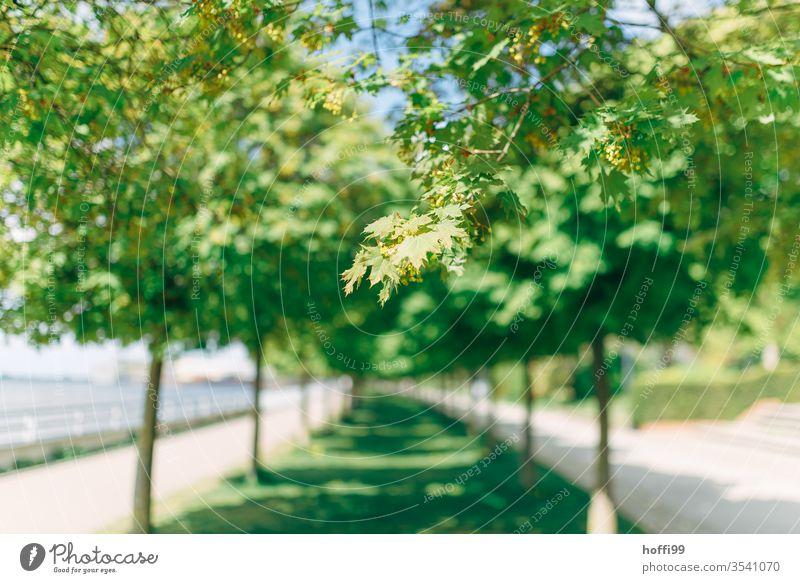 Allee von Bäumen im Park Zweig Ast Zweige u. Äste Frühling Frühlingsgefühle Menschenleer Freisteller Pflanze Baum Blatt Blüte Tag Wachstum Sonnenlicht Natur