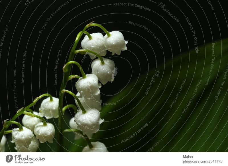 Maiglöckchen auf dunklem Hintergrund Lilien geblümt Natur wild grün Frühling dunkel schwarz Design weiß Sommer Blume Aroma Kunst Flora Wald Pflanze Blütezeit