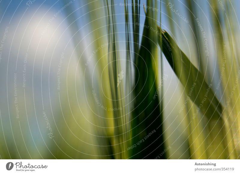 im Getreidefeld Himmel Natur blau grün Pflanze Wolken Blatt Umwelt Gras Bewegung Frühling Wetter Feld stehen Schönes Wetter Spitze