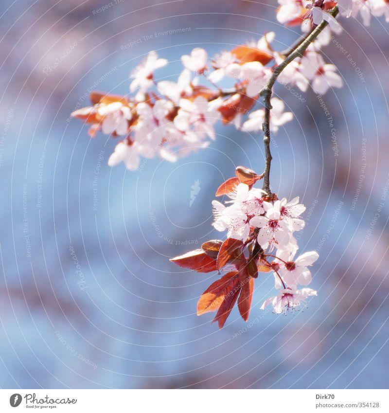 Frühlingsbote blau weiß Pflanze Baum rot Blatt schwarz Leben Blüte Garten natürlich rosa Park Idylle Wachstum