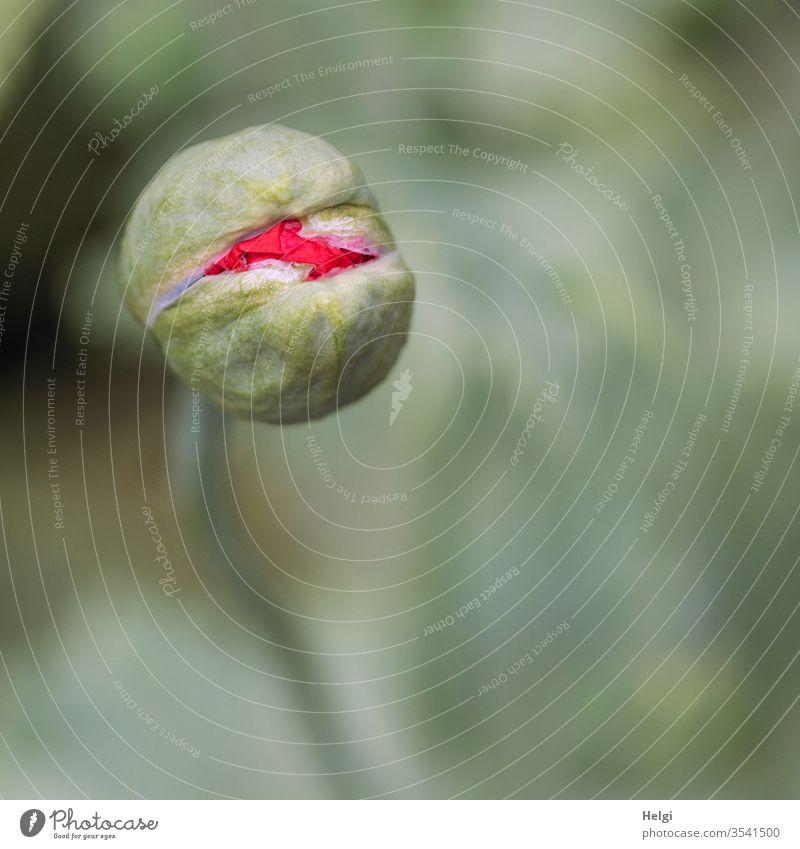 Mo(h)ntag - Makroaufnahme einer Mohnknospe, die gerade aufbricht Mohnblume Mohnblüte Knospe Aufbruch aufbrechen Start Frühling Natur Umwelt Vogelperspektive