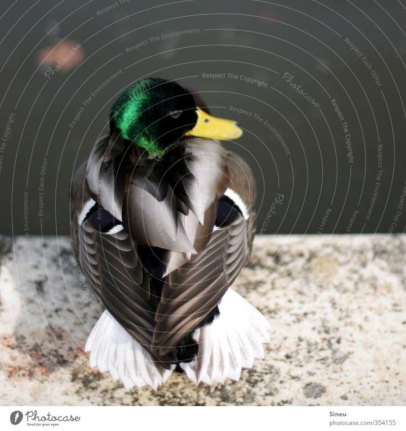 Ente Umwelt Tier Sommer Schönes Wetter Park Seeufer Teich Wildtier Tiergesicht Flügel Stockente 1 beobachten Denken Erholung hocken sitzen schön gelb grau grün