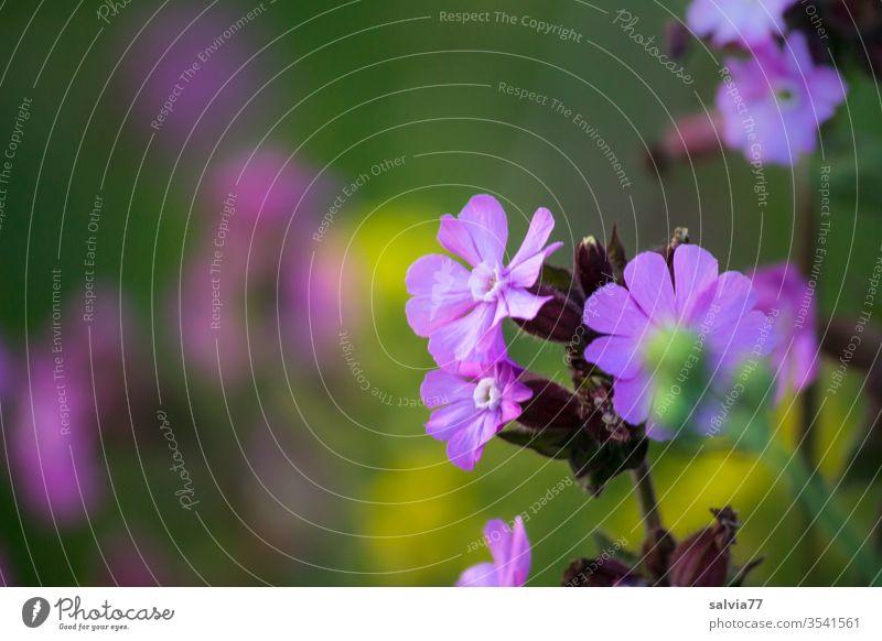 Blumenwiese Natur Wiese Frühling Blüte Pflanze Lichtnelke Laimkraut Farbfoto Duft Außenaufnahme Menschenleer Schwache Tiefenschärfe Wiesenblume Wachstum
