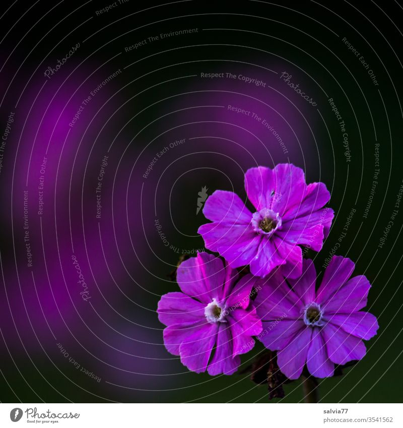 lila Blütentrio | rote Lichtnelke Natur Blume Kontrast Farbkontrast schwarz Makroaufnahme Leimkraut rote lichtnelke Blühend Frühling Sommer