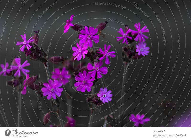 pink flower Blumenwiese Laimkraut rote lichtnelke Blüte Pflanze Blühend Natur Kontrast Farbfoto Schwache Tiefenschärfe Wachstum Wiese blühen leuchtende Farben
