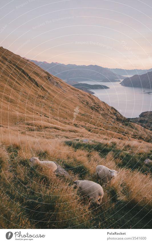 #As# HangSchafe Neuseeland Neuseeland Landschaft Berge u. Gebirge Berghang Bergkette Bergwiese Außenaufnahme Natur Farbfoto Umwelt Menschenleer Himmel Gipfel