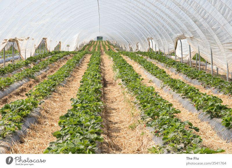 Erdbeerfeld Erdbeeren Frucht rot Ernährung lecker Farbfoto Lebensmittel Vitamin vitaminreich Gesunde Ernährung Gewächshaus plastikplane Reihen Landwirtschaft