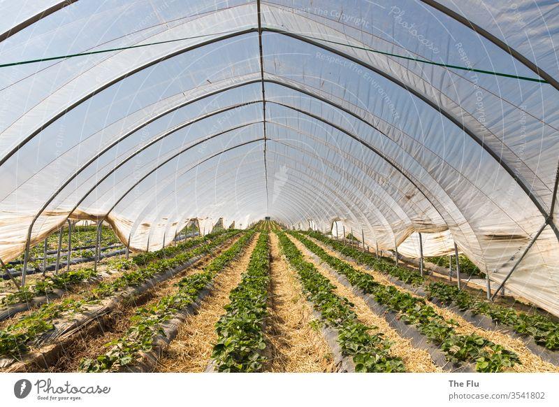 Erdbeeranbau Erdbeeren Frucht rot Ernährung lecker Farbfoto Lebensmittel Vitamin vitaminreich Gesunde Ernährung Gewächshaus plastikplane Reihen Landwirtschaft