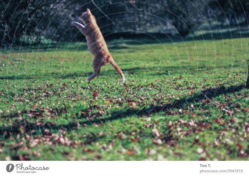 Katze im Sprung Kater Haustier Tier Farbfoto niedlich Hauskatze Tierporträt Außenaufnahme Fell Menschenleer kuschlig Neugier