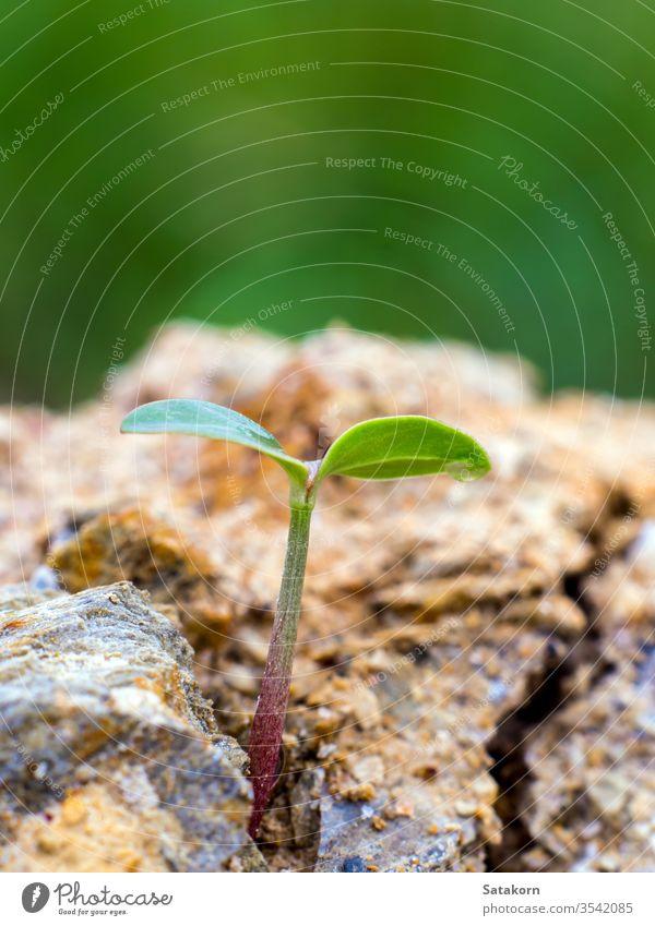 Junges Saatgut sprießt auf felsigem Bergboden Samen grün sprießen Keimling jung Pflanze Leben Felsen neu Natur Wachstum Keimung klein Boden Hintergrund Konzept