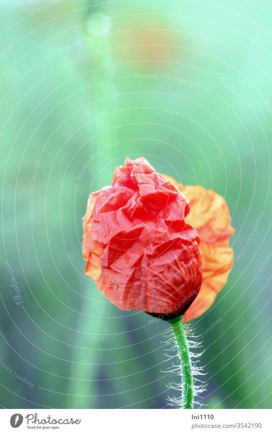 halb geöffnete Knospe des Klatschmohns mit fein behaarten Blütenstängel vor pastellgrünem Hintergrund Mohn Mohnblüte mohnknospe Pastellfarben pastellfarbig
