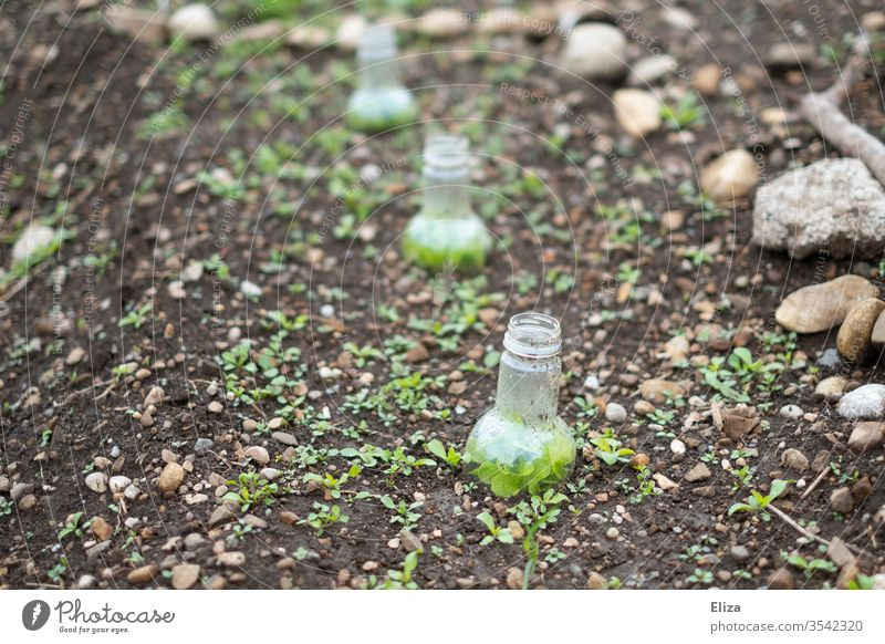 improvisierte selbstgemachte kleine Gewächshäuser aus abgeschnittenen Plastikflaschen im Garten Gewächshaus Flaschenhals kreativ diy gärtnern anpflanzen Gemüse
