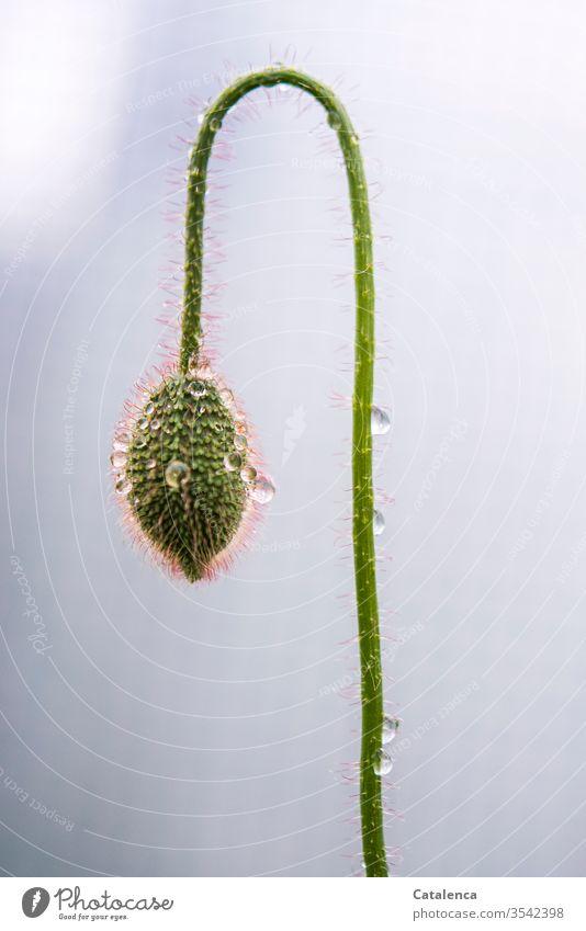 Den Kopf hängen lassen | wörtlich genommen Mohn Flora Pflanze Blume Mohnblüte Regen Wasser Wassertropfen Regenrtopfen schlechtes Wetter Natur Blüte nass Umwelt
