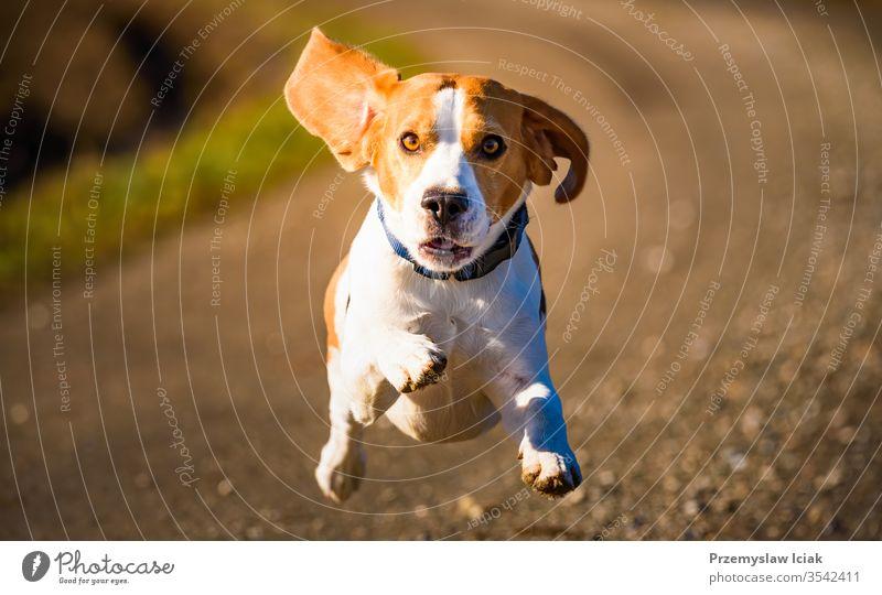 Dog Beagle rennt schnell und springt mit heraushängender Zunge auf den ländlichen Weg im Freien Welpe Sommer Aktion Aktivität bezaubernd agil Tier schön züchten