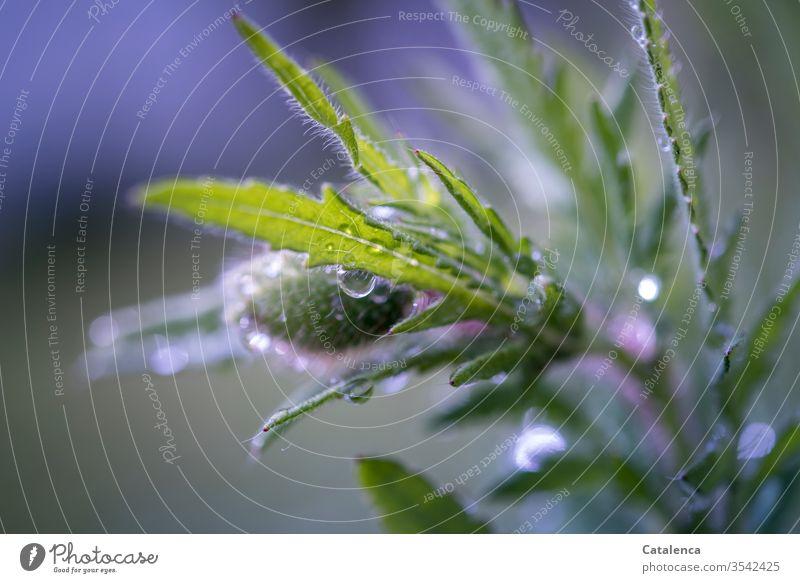 Ein verregneter Mohntag Grau Grün Frühling Nahaufnahme Umwelt nass Blüte Natur schlechtes Wetter Regenrtopfen Blume Mohnblüte Wasser Wassertropfen Pflanze Flora