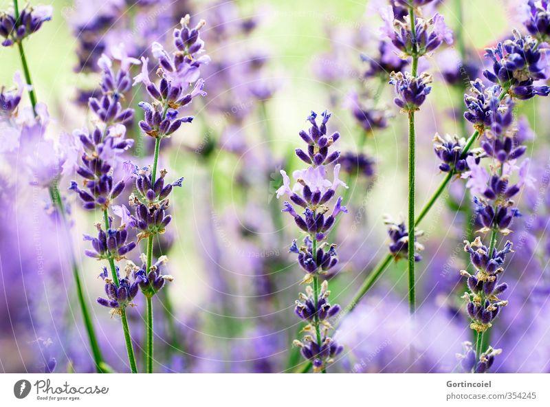 Lavanda Natur Pflanze Sommer Blüte violett Blühend Lavendel Lavendelfeld Duft Farbfoto Außenaufnahme Schwache Tiefenschärfe