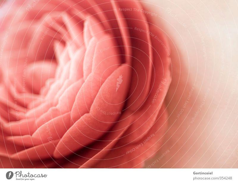 Camellia japonica schön Pflanze rot Blume Blüte Dekoration & Verzierung altehrwürdig Blütenblatt