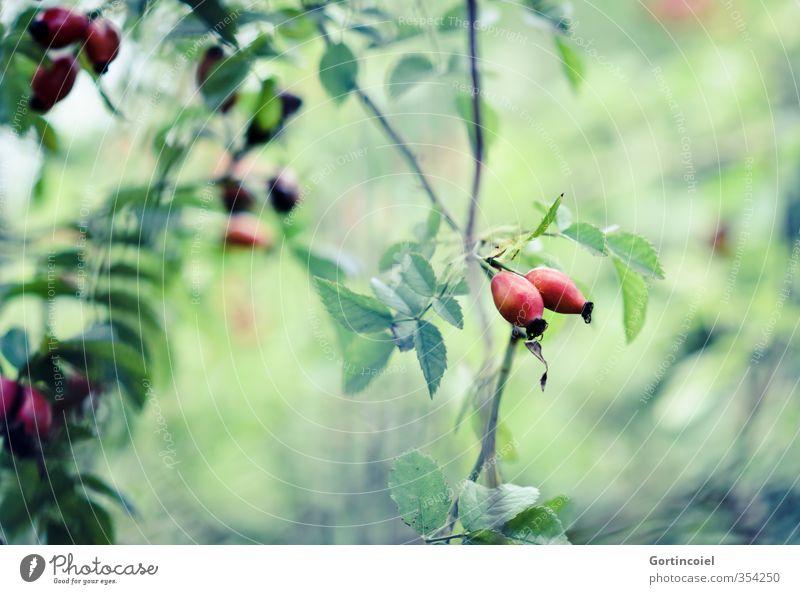 Jetzt ist Herbst Natur grün Pflanze rot Sträucher herbstlich Hagebutten