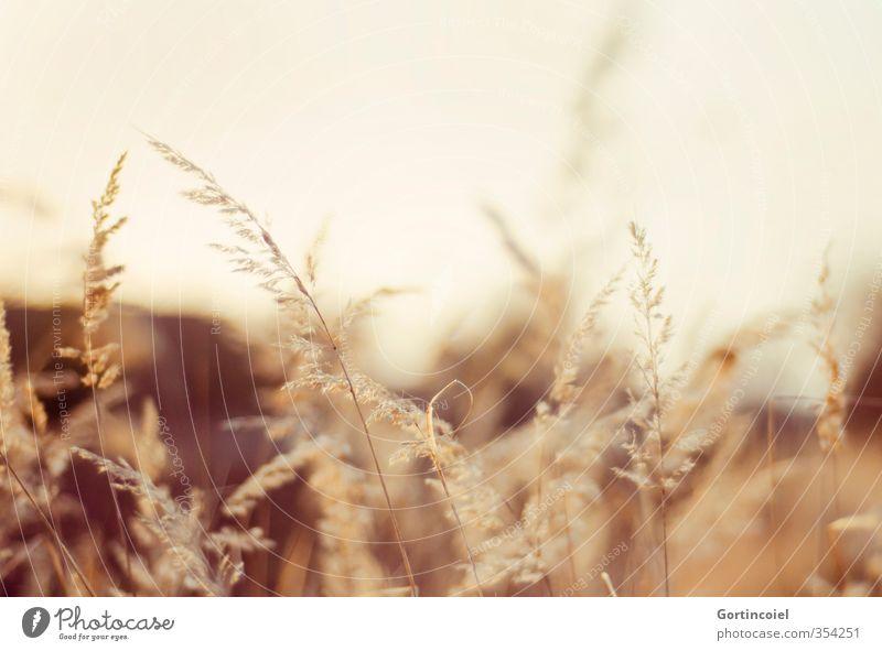 Abendstimmung Natur Pflanze Gras trocken