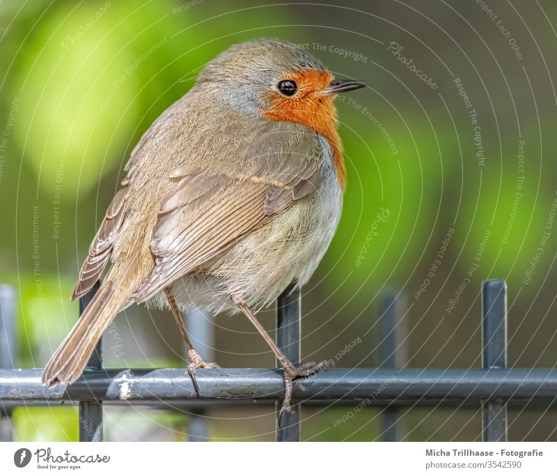 Rotkehlchen auf dem Gartenzaun Erithacus rubecula Vogel Wildvogel Tiergesicht Schnabel Auge Flügel Federn Gefieder Beine Wildtier Natur Nahaufnahme