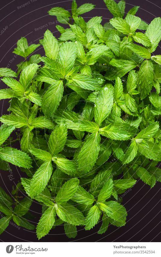 Münzprägeanstalt Blätter Draufsicht. Grüne Minze Topfpflanze obere Ansicht Aroma Hintergrund vorteilhaft botanisch Nahaufnahme Diät wirksam frisch Frische