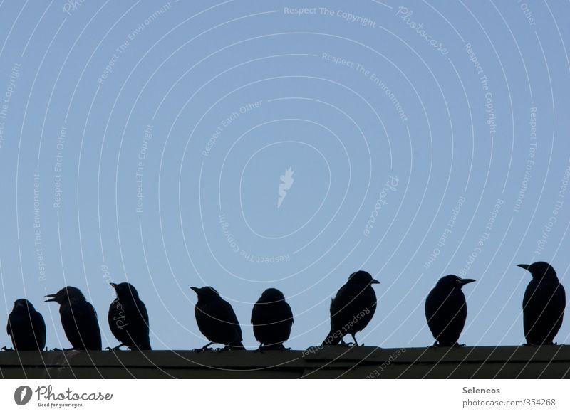 Auf der Mauer, auf der Lauer Umwelt Natur Himmel Wolkenloser Himmel Dach Tier Wildtier Vogel Schnabel Tiergruppe sprechen Kommunizieren klein Zusammenhalt