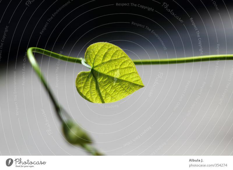 Herzblatt Natur grün schön Pflanze Farbe Blatt Liebe Gefühle Frühling elegant Wachstum frisch Schnur Romantik Blühend