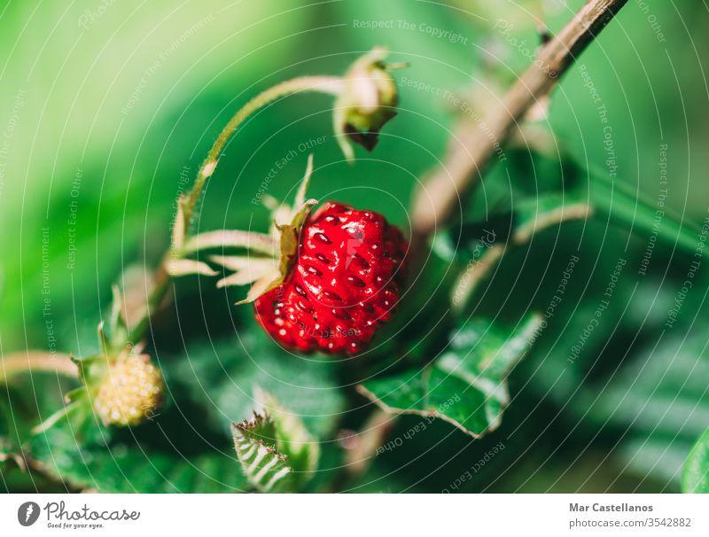 Fragaria vesca. Reife Walderdbeere mit verschwommenem Hintergrund. Erdbeeren wild reif Frucht natürlich Vitamine Lebensmittel Makro unscharfer Hintergrund Natur
