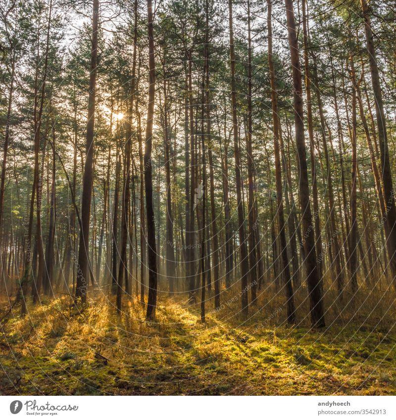 Das Sonnenlicht am Morgen im Nadelwald Fehlen Ambiente Herbst Hintergrundbeleuchtung schön Schönheit in der Natur Konifere Umwelt Immergrün fallen Flora